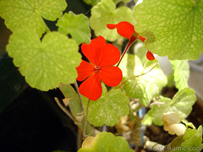 Red Colored Pelargonia -Geranium- flower. <i>(Family: Geraniaceae, Species: Pelargonium)</i> <br>Photo Date: July 2006, Location: Turkey/Istanbul-Mother`s Flowers, By: Artislamic.com