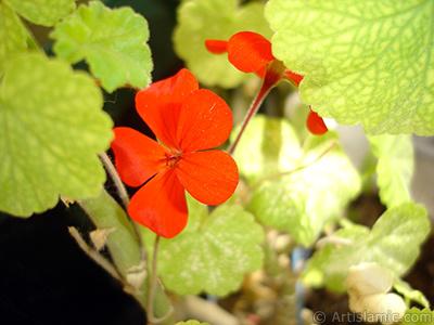 Kırmızı sardunya çiçeği resmi. <i>(Ailesi: Geraniaceae, Türü: Pelargonium)</i> <br>Çekim Tarihi: Temmuz 2006, Yer: İstanbul-Annemin Çiçekleri, Fotoğraf: islamiSanat.net