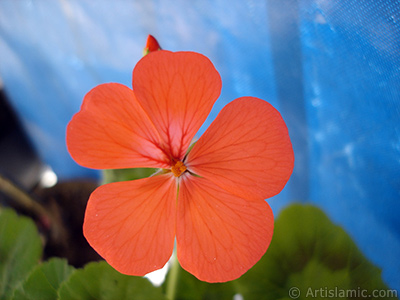 Red Colored Pelargonia -Geranium- flower. <i>(Family: Geraniaceae, Species: Pelargonium)</i> <br>Photo Date: May 2006, Location: Turkey/Istanbul, By: Artislamic.com