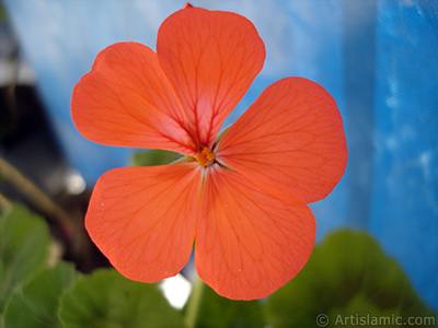 Red Colored Pelargonia -Geranium- flower.