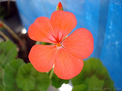 Red Colored Pelargonia -Geranium- flower. <i>(Family: Geraniaceae, Species: Pelargonium)</i> <br>Photo Date: May 2006, Location: Turkey/Istanbul, By: Artislamic.com