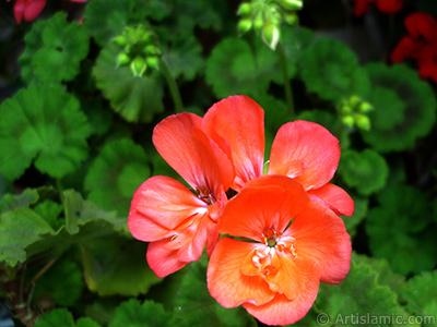 Red Colored Pelargonia -Geranium- flower. <i>(Family: Geraniaceae, Species: Pelargonium)</i> <br>Photo Date: May 2006, Location: Turkey/Istanbul-Mother`s Flowers, By: Artislamic.com