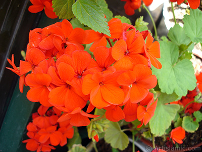 Red Colored Pelargonia -Geranium- flower. <i>(Family: Geraniaceae, Species: Pelargonium)</i> <br>Photo Date: May 2006, Location: Turkey/Istanbul-Mother`s Flowers, By: Artislamic.com