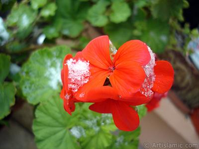 Red Colored Pelargonia -Geranium- flower. <i>(Family: Geraniaceae, Species: Pelargonium)</i> <br>Photo Date: January 2006, Location: Turkey/Istanbul-Mother`s Flowers, By: Artislamic.com