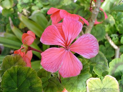 Kırmızı sardunya çiçeği resmi. <i>(Ailesi: Geraniaceae, Türü: Pelargonium)</i> <br>Çekim Tarihi: Kasım 2005, Yer: İstanbul-Annemin Çiçekleri, Fotoğraf: islamiSanat.net