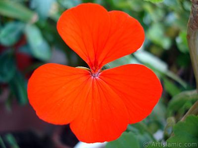 Red Colored Pelargonia -Geranium- flower. <i>(Family: Geraniaceae, Species: Pelargonium)</i> <br>Photo Date: October 2005, Location: Turkey/Istanbul-Mother`s Flowers, By: Artislamic.com