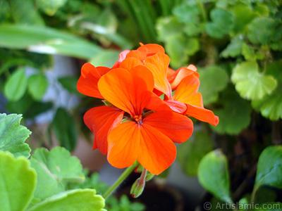 Kırmızı sardunya çiçeği resmi. <i>(Ailesi: Geraniaceae, Türü: Pelargonium)</i> <br>Çekim Tarihi: Eylül 2005, Yer: İstanbul-Annemin Çiçekleri, Fotoğraf: islamiSanat.net