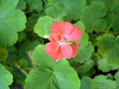 Red Colored Pelargonia -Geranium- flower. <i>(Family: Geraniaceae, Species: Pelargonium)</i> <br>Photo Date: September 2005, Location: Turkey/Istanbul-Mother`s Flowers, By: Artislamic.com