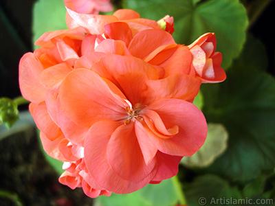 Red Colored Pelargonia -Geranium- flower. <i>(Family: Geraniaceae, Species: Pelargonium)</i> <br>Photo Date: June 2005, Location: Turkey/Istanbul-Mother`s Flowers, By: Artislamic.com