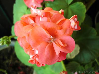 Kırmızı sardunya çiçeği resmi. <i>(Ailesi: Geraniaceae, Türü: Pelargonium)</i> <br>Çekim Tarihi: Haziran 2005, Yer: İstanbul-Annemin Çiçekleri, Fotoğraf: islamiSanat.net