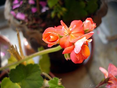 Red Colored Pelargonia -Geranium- flower. <i>(Family: Geraniaceae, Species: Pelargonium)</i> <br>Photo Date: May 2005, Location: Turkey/Istanbul-Mother`s Flowers, By: Artislamic.com