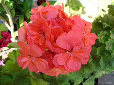 Red Colored Pelargonia -Geranium- flower. <i>(Family: Geraniaceae, Species: Pelargonium)</i> <br>Photo Date: May 2005, Location: Turkey/Istanbul-Mother`s Flowers, By: Artislamic.com