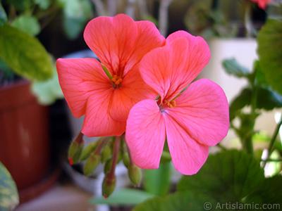 Kırmızı sardunya çiçeği resmi. <i>(Ailesi: Geraniaceae, Türü: Pelargonium)</i> <br>Çekim Tarihi: Mayıs 2005, Yer: İstanbul-Annemin Çiçekleri, Fotoğraf: islamiSanat.net