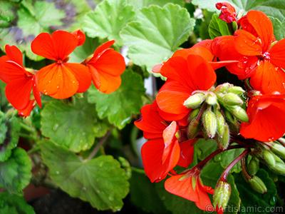 Kırmızı sardunya çiçeği resmi. <i>(Ailesi: Geraniaceae, Türü: Pelargonium)</i> <br>Çekim Tarihi: Nisan 2005, Yer: İstanbul-Annemin Çiçekleri, Fotoğraf: islamiSanat.net
