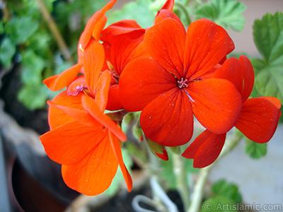 Red Colored Pelargonia -Geranium- flower. <i>(Family: Geraniaceae, Species: Pelargonium)</i> <br>Photo Date: April 2005, Location: Turkey/Istanbul-Mother`s Flowers, By: Artislamic.com