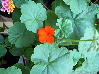 Red Colored Pelargonia -Geranium- flower. <i>(Family: Geraniaceae, Species: Pelargonium)</i> <br>Photo Date: January 2002, Location: Turkey/Istanbul-Mother`s Flowers, By: Artislamic.com