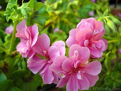 Pink Colored Pelargonia -Geranium- flower. <i>(Family: Geraniaceae, Species: Pelargonium)</i> <br>Photo Date: May 2009, Location: Turkey/Istanbul-Mother`s Flowers, By: Artislamic.com