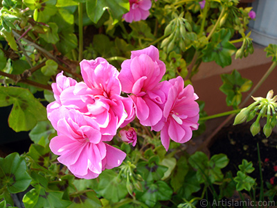Pink Colored Pelargonia -Geranium- flower. <i>(Family: Geraniaceae, Species: Pelargonium)</i> <br>Photo Date: May 2009, Location: Turkey/Istanbul-Mother`s Flowers, By: Artislamic.com