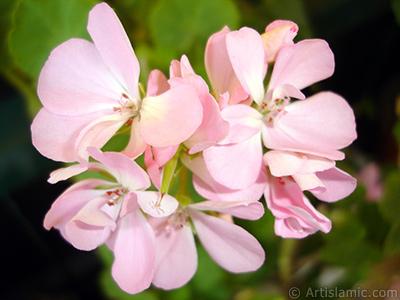 Pembe sardunya çiçeği resmi. <i>(Ailesi: Geraniaceae, Türü: Pelargonium)</i> <br>Çekim Tarihi: Haziran 2006, Yer: İstanbul-Annemin Çiçekleri, Fotoğraf: islamiSanat.net