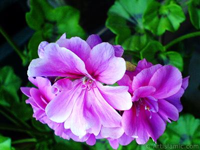Pembe sardunya çiçeği resmi. <i>(Ailesi: Geraniaceae, Türü: Pelargonium)</i> <br>Çekim Tarihi: Mayıs 2008, Yer: İstanbul-Annemin Çiçekleri, Fotoğraf: islamiSanat.net