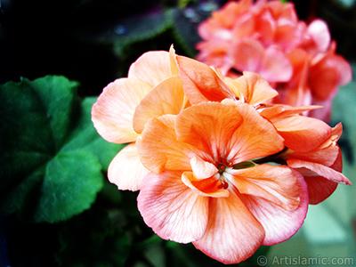 Pembe sardunya çiçeği resmi. <i>(Ailesi: Geraniaceae, Türü: Pelargonium)</i> <br>Çekim Tarihi: Ekim 2005, Yer: İstanbul, Fotoğraf: islamiSanat.net