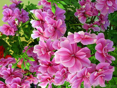 Pink Colored Pelargonia -Geranium- flower. <i>(Family: Geraniaceae, Species: Pelargonium)</i> <br>Photo Date: May 2006, Location: Turkey/Istanbul-Mother`s Flowers, By: Artislamic.com