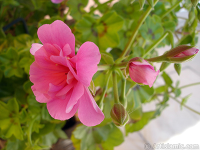 Pink Colored Pelargonia -Geranium- flower. <i>(Family: Geraniaceae, Species: Pelargonium)</i> <br>Photo Date: May 2006, Location: Turkey/Istanbul-Mother`s Flowers, By: Artislamic.com