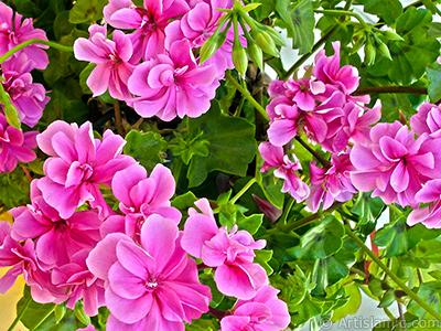 Pembe sardunya çiçeği resmi. <i>(Ailesi: Geraniaceae, Türü: Pelargonium)</i> <br>Çekim Tarihi: Mayıs 2006, Yer: İstanbul-Annemin Çiçekleri, Fotoğraf: islamiSanat.net