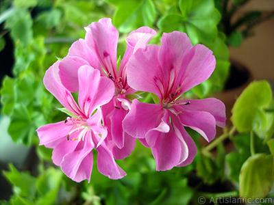 Pink Colored Pelargonia -Geranium- flower. <i>(Family: Geraniaceae, Species: Pelargonium)</i> <br>Photo Date: September 2005, Location: Turkey/Istanbul-Mother`s Flowers, By: Artislamic.com
