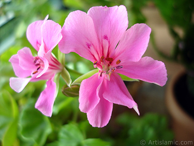 Pink Colored Pelargonia -Geranium- flower. <i>(Family: Geraniaceae, Species: Pelargonium)</i> <br>Photo Date: September 2005, Location: Turkey/Istanbul-Mother`s Flowers, By: Artislamic.com