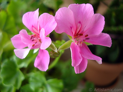 Pink Colored Pelargonia -Geranium- flower.