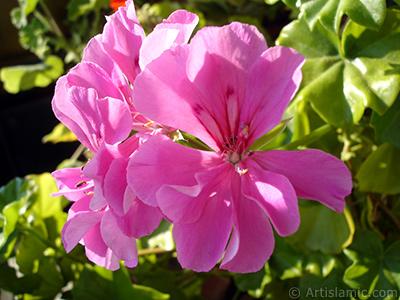 Pembe sardunya çiçeği resmi. <i>(Ailesi: Geraniaceae, Türü: Pelargonium)</i> <br>Çekim Tarihi: Eylül 2005, Yer: İstanbul-Annemin Çiçekleri, Fotoğraf: islamiSanat.net