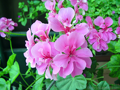 Pink Colored Pelargonia -Geranium- flower. <i>(Family: Geraniaceae, Species: Pelargonium)</i> <br>Photo Date: June 2005, Location: Turkey/Istanbul-Mother`s Flowers, By: Artislamic.com