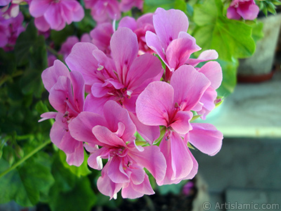 Pink Colored Pelargonia -Geranium- flower. <i>(Family: Geraniaceae, Species: Pelargonium)</i> <br>Photo Date: June 2005, Location: Turkey/Istanbul-Mother`s Flowers, By: Artislamic.com