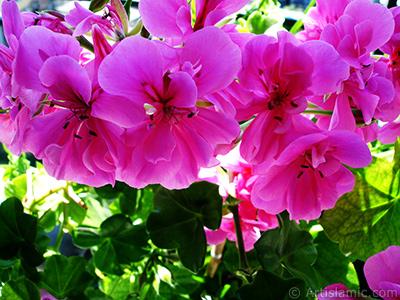 Pembe sardunya çiçeği resmi. <i>(Ailesi: Geraniaceae, Türü: Pelargonium)</i> <br>Çekim Tarihi: Haziran 2005, Yer: İstanbul-Annemin Çiçekleri, Fotoğraf: islamiSanat.net