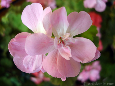 Pembe sardunya çiçeği resmi. <i>(Ailesi: Geraniaceae, Türü: Pelargonium)</i> <br>Çekim Tarihi: Mayıs 2005, Yer: İstanbul-Annemin Çiçekleri, Fotoğraf: islamiSanat.net