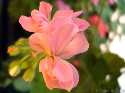 Pink Colored Pelargonia -Geranium- flower. <i>(Family: Geraniaceae, Species: Pelargonium)</i> <br>Photo Date: May 2005, Location: Turkey/Istanbul-Mother`s Flowers, By: Artislamic.com