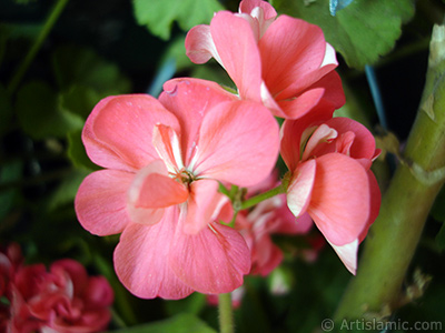 Pink Colored Pelargonia -Geranium- flower. <i>(Family: Geraniaceae, Species: Pelargonium)</i> <br>Photo Date: May 2005, Location: Turkey/Istanbul-Mother`s Flowers, By: Artislamic.com