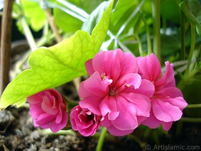 Pembe sardunya çiçeği resmi. <i>(Ailesi: Geraniaceae, Türü: Pelargonium)</i> <br>Çekim Tarihi: Nisan 2005, Yer: İstanbul-Annemin Çiçekleri, Fotoğraf: islamiSanat.net