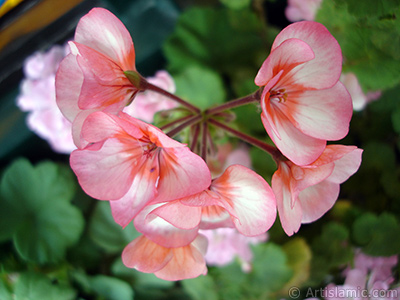 Pink and red color Pelargonia -Geranium- flower. <i>(Family: Geraniaceae, Species: Pelargonium)</i> <br>Photo Date: May 2008, Location: Turkey/Istanbul-Mother`s Flowers, By: Artislamic.com