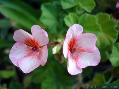 Pink and red color Pelargonia -Geranium- flower. <i>(Family: Geraniaceae, Species: Pelargonium)</i> <br>Photo Date: July 2006, Location: Turkey/Istanbul-Mother`s Flowers, By: Artislamic.com