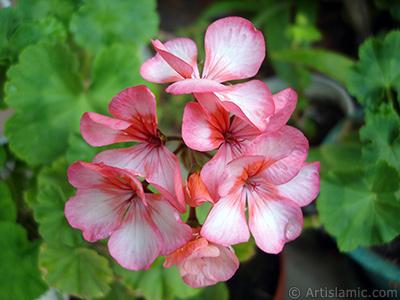 Pink and red color Pelargonia -Geranium- flower. <i>(Family: Geraniaceae, Species: Pelargonium)</i> <br>Photo Date: June 2006, Location: Turkey/Istanbul-Mother`s Flowers, By: Artislamic.com