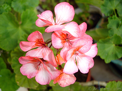 Pink and red color Pelargonia -Geranium- flower. <i>(Family: Geraniaceae, Species: Pelargonium)</i> <br>Photo Date: June 2006, Location: Turkey/Istanbul-Mother`s Flowers, By: Artislamic.com