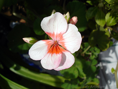 Pembe-kımıızı sardunya çiçeği resmi. <i>(Ailesi: Geraniaceae, Türü: Pelargonium)</i> <br>Çekim Tarihi: Kasım 2005, Yer: İstanbul-Annemin Çiçekleri, Fotoğraf: islamiSanat.net