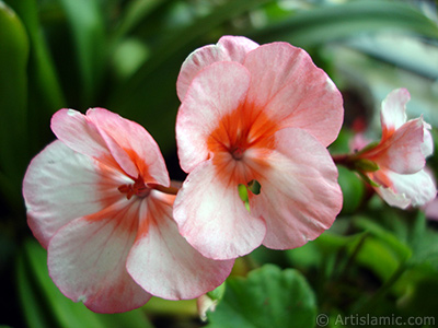 Pink and red color Pelargonia -Geranium- flower. <i>(Family: Geraniaceae, Species: Pelargonium)</i> <br>Photo Date: October 2005, Location: Turkey/Istanbul-Mother`s Flowers, By: Artislamic.com