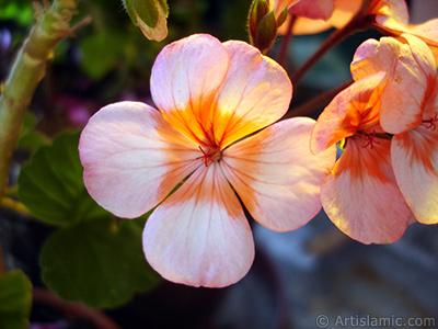 Pembe-kımıızı sardunya çiçeği resmi. <i>(Ailesi: Geraniaceae, Türü: Pelargonium)</i> <br>Çekim Tarihi: Haziran 2005, Yer: İstanbul-Annemin Çiçekleri, Fotoğraf: islamiSanat.net