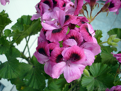 Dark pink mottled Pelargonia -Geranium- flower. <i>(Family: Geraniaceae, Species: Pelargonium)</i> <br>Photo Date: May 2009, Location: Turkey/Istanbul-Mother`s Flowers, By: Artislamic.com