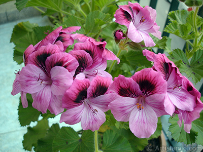 Dark pink mottled Pelargonia -Geranium- flower. <i>(Family: Geraniaceae, Species: Pelargonium)</i> <br>Photo Date: May 2009, Location: Turkey/Istanbul-Mother`s Flowers, By: Artislamic.com