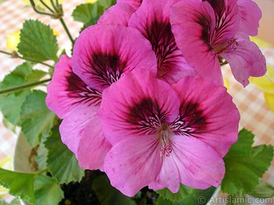 Koyu pembe alacalı sardunya çiçeği resmi. <i>(Ailesi: Geraniaceae, Türü: Pelargonium)</i> <br>Çekim Tarihi: Haziran 2006, Yer: İstanbul-Annemin Çiçekleri, Fotoğraf: islamiSanat.net