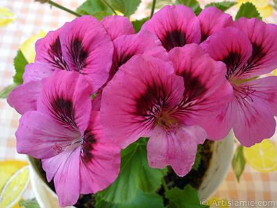 Dark pink mottled Pelargonia -Geranium- flower. <i>(Family: Geraniaceae, Species: Pelargonium)</i> <br>Photo Date: June 2006, Location: Turkey/Istanbul-Mother`s Flowers, By: Artislamic.com